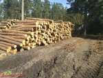 Drewno tartaczne sosnowe kłodowane, dł. 2.5m; śred. 16 do 35